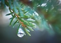 Laural Sabin's Raindrop on Pine Needles, Homestead Trail